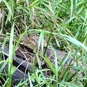 Speckled Caiman crocodile