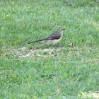 tropical mockiingbird