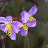 Virginia Meadow Beauty
