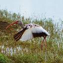 American White Ibis (juvenile)