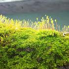 Fountain Moss