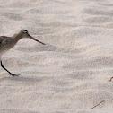 Bar-tailed Godwit, Szlamnik zwyczajny