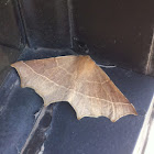 Pale Metanema Moth