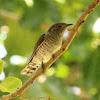 Horsfields Bronze Cuckoo