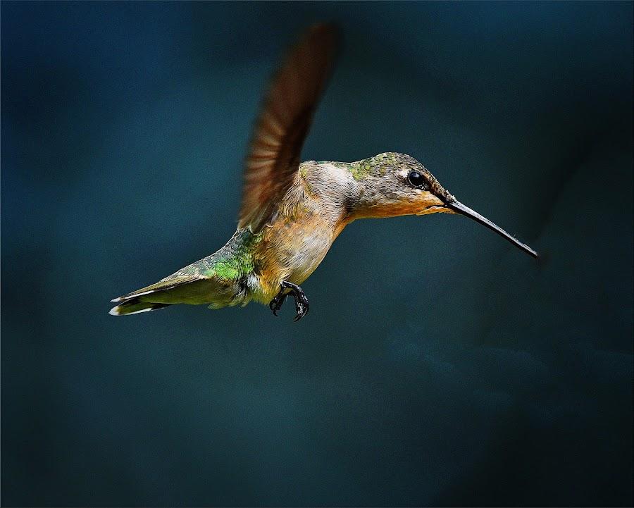 ? by Roy Walter - Animals Birds ( flight, animals, nature, hummingbird, bvirds, wildlife )