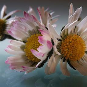 by Ivanka Ruter - Flowers Flower Arangements (  )