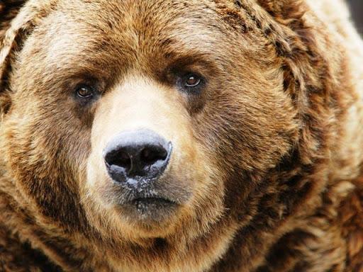 【免費攝影App】Bear Wallpapers-APP點子