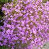 centaurum quadrifolium