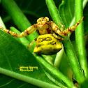 Thomisus Crab Spider ♀