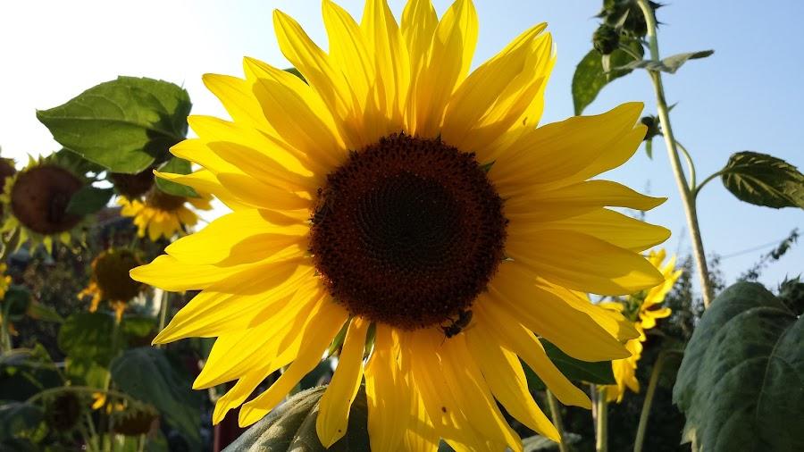 Sunflower by Aleksa Stankovic - Flowers Flowers in the Wild ( flower )