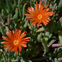 Unknown Iceplant
