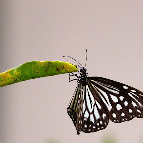 On the Tip of Life by Seema Nair - Animals Insects & Spiders ( butterfly, butterflies, insect, insect photography, black butterfly,  )