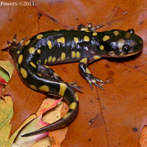 Salamanders of Tennessee