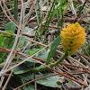 Orange milkwort wildflower
