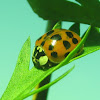Asian Ladybeetle