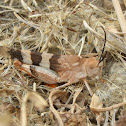Three-banded Range Grasshopper