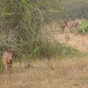 Chital (Spotted Deer)