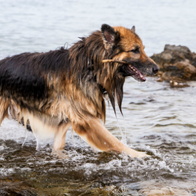 by Suzana Svečnjak - Animals - Dogs Playing ( animals, pets, summer, sea, dog,  )