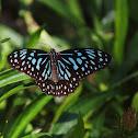 The Dark Blue Tiger