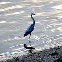 Grey Heron (dt. Graureiher)