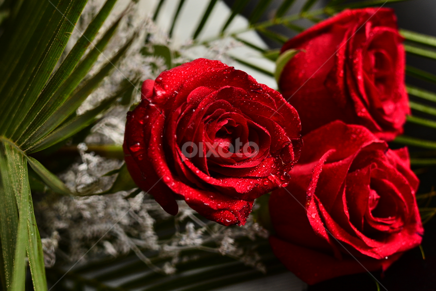 Deadly roses by Andreea Marchidan - Flowers Flower Arangements ( rose, water drops, red, roses, flowers )