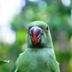 little speaker  by B Thottoli - Animals Birds ( child, bird, nature, parrots, green, india, kerala, animal )