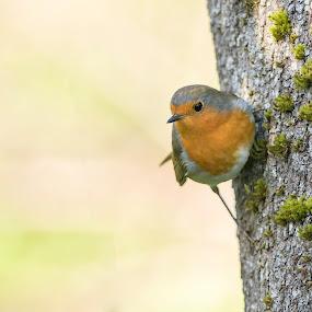 in balanace by Annette Flottwell - Animals Birds ( bird, rouggorge, robin, garden )