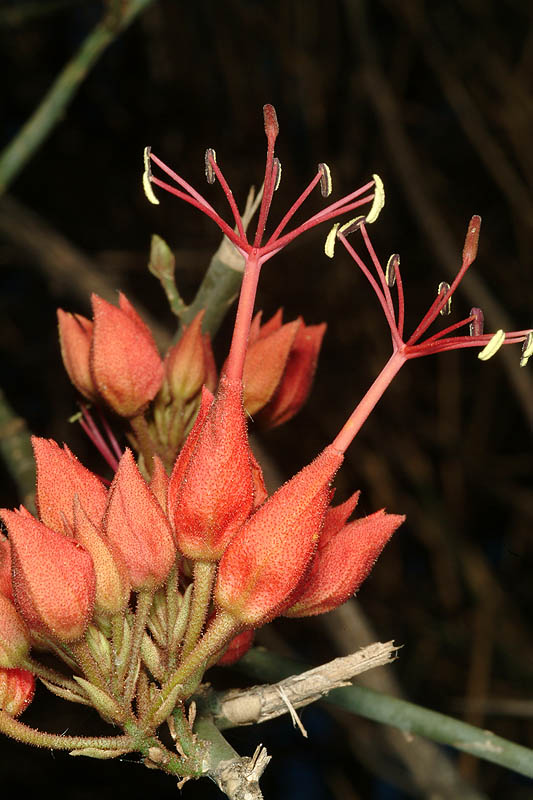 Leafless Cadaba