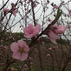Pluot blossom