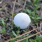 Common Puffball