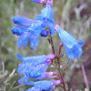 Penstemon Blue Springs