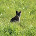 North American Bobcat-Lynx Rufus