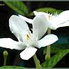 White Angel, Snowflake Flower