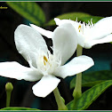 White Angel, Snowflake Flower