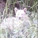 Wolf (prob. hybrid)