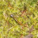 Larch Mountain Salamander