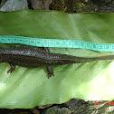 Tam Dao salamander