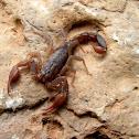 Texas cave scorpion