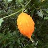 Bitter melon, Balsam apple