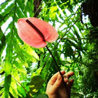 Flamingo Flower or Boy Flower