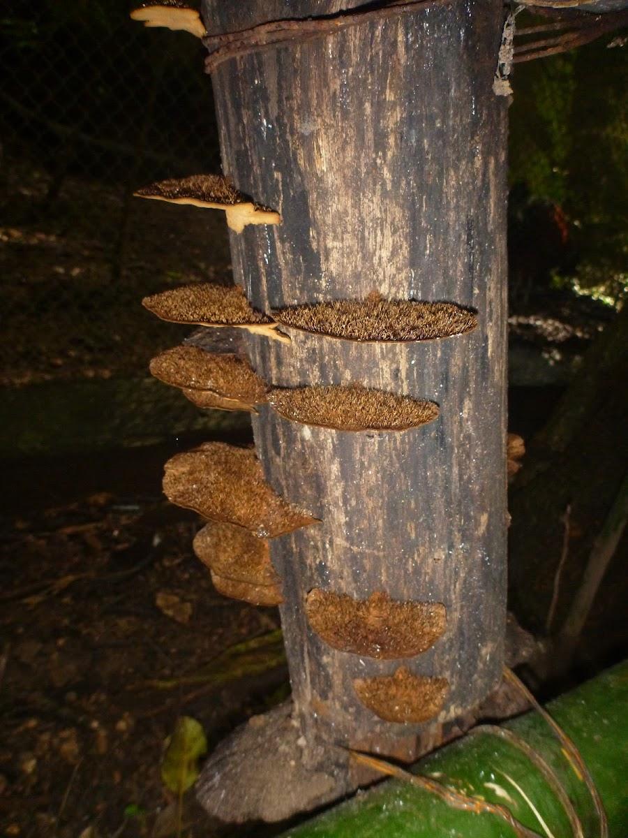 Fuzzy Shelf Fungus