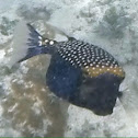 Blue Spotted Boxfish