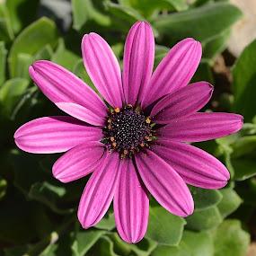 Lush Life by Ed Hanson - Flowers Single Flower ( nature, purple, daisy, close-up, flower )