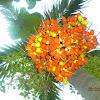 Palm Putri. ( Indonesia )