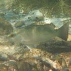 Gray Snapper, Mangrove Snapper