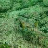 Stripebelly Pufferfish