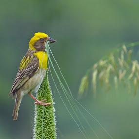 Nesting Time by Kishan Meena - Animals Birds ( bird, nature, weaver, wildlife, baya )
