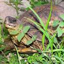 Furrowed-Wood Turtle