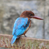 White-throated Kingfisher / White-breasted Kingfisher or Smyrna Kingfisher