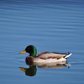 Duck Reflection by Ed Hanson - Animals Birds ( water, reflection, blue, duck )